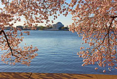 Thomas Jefferson Memorial framed in cherry flowers at Tidal Basin in Washington DC. Stock Photo