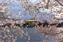 Thomas Jefferson Memorial framed in cherry flowers tracery, Washington DC, USA. royalty free stock images