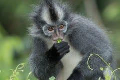 Thomas` langur Presbytis thomasi, also known as the Thomas Leaf Monkey, in Gunung Leuser National Park, Sumatra, Indonesia stock photo