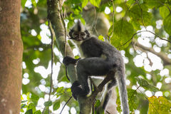 Thomas Langur s'assied sur la rotation d'un arbre et le x28 ; Sumatra, Indonesia& x29 ; photos libres de droits