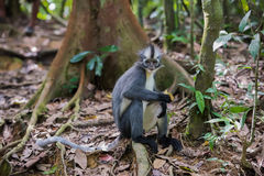 Thomas Langur sits sideways on a snag among the burgundy leaves Royalty Free Stock Images