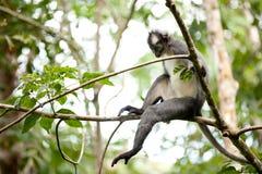 Thomas leaf monkey Stock Images