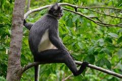 Thomas Leaf Monkey Immagini Stock Libere da Diritti
