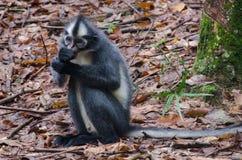 Thomas Leaf Monkey Fotografía de archivo