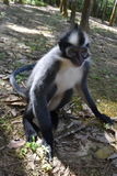 Thomas Leaf Monkey Arkivbilder