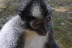 Thomas Leaf Monkey Royaltyfria Bilder
