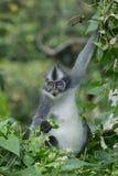 Thomas Leaf Monkey/Thomas Langur in narcosi da azoto nazionale di Gunung Leuser, la Sumatra Settentrionale, Indonesia - un sito d fotografie stock libere da diritti