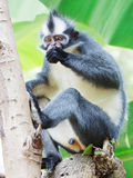 Thomas's leaf monkey Royalty Free Stock Photo