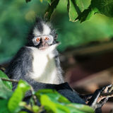 Thomas's leaf monkey Royalty Free Stock Images