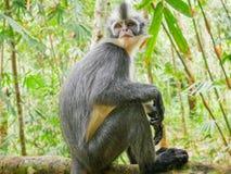 Thomas`s Leaf Monkey in Bukit Lawang, Indonesia. In Bukit Lawang the Presbytis species is Presbytis thomasi, Thomas`s leaf monkey. Sightings of Thomas` leaf royalty free stock images