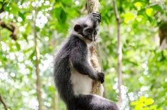 Thomas's leaf monkey in Northern Sumatra, Indonesia Royalty Free Stock Image