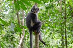 Thomas's leaf monkey in Northern Sumatra, Indonesia Stock Photography