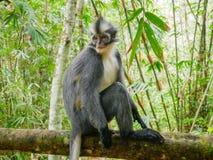Thomas`s Leaf Monkey. Sightings of Thomas`s leaf monkey in Bukit Lwang, Indonesia. Thomas`s Leaf Monkey. Sightings of Thomas`s leaf monkey in Bukit Lawang stock image