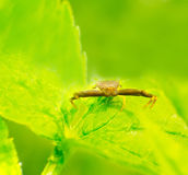 Thomisidae Stock Photography