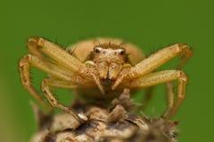 Thomisidae eller krabbaspindel Arkivfoton