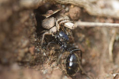 Thomisidae predator ant queen. Spider Thomisidae predator ant queen Messor barbarus Royalty Free Stock Photos