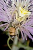 Thomisidae que come una abeja Imagenes de archivo