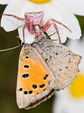 Thomisus eating. A pink crab spider eating a licenidae butterfly Stock Photo