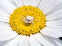Thomisus-onustus Frau - sitzend in der großen Gänseblümchenblume Lizenzfreie Stockfotografie