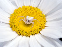 Thomisus onustus kobieta - siedzący w wielkim stokrotka kwiacie Fotografia Royalty Free