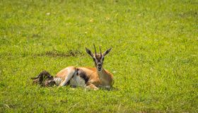 Thompson antelope giving birth to baby in Masai Mra, Kenya royalty free stock photography
