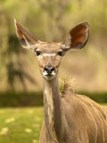 Thompson Gazelle. Looking at the camera stock photography