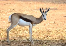 Thompson Gazelle Royalty Free Stock Photo