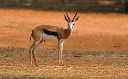 Thompson Gazelle Royalty Free Stock Photos