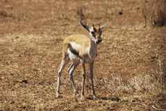 Thompson gazelle baby Stock Photography