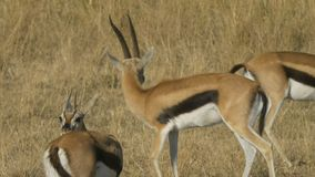 Thompson gazelle buck facing the camera turns and walks right in Masai Mara Game Reserve