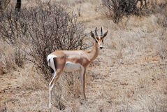 Thompson gazelle in The Maasai Mara National Reserve, Kenya Stock Image