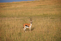 Thompson gazelle in The Maasai Mara National Reserve, Kenya Royalty Free Stock Image