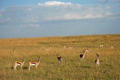 Thompson gazelles in The Maasai Mara National Reserve, Kenya Stock Photography