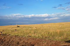 Thompson gazelles in The Maasai Mara National Reserve, Kenya Stock Photos