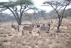 Thompson gazelles in The Maasai Mara National Reserve, Kenya Royalty Free Stock Images