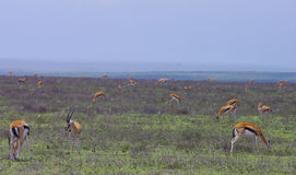 Thompson Gazelles in Serengeti plains Royalty Free Stock Photo