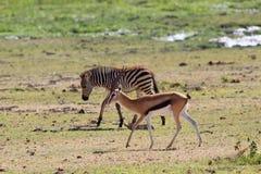 Thompson ` s gazelle σε μια θέση ποτίσματος στα πλαίσια ενός με ραβδώσεις Στοκ εικόνες με δικαίωμα ελεύθερης χρήσης