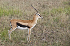 Thompson's gazelle Stock Photos