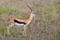 Thompson's gazelle. At Masai Mara National Partk, Kenya Stock Photos