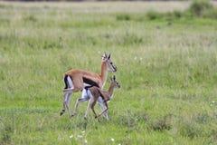 Thompson's Gazelle Family Royalty Free Stock Photos