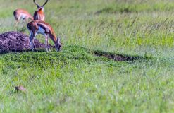Thompson's Gazelle on the Masai Mara National Reserve Royalty Free Stock Images