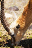 Thompson's Gazelle Stock Photography