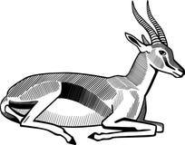 Thompson's Gazelle Resting Royalty Free Stock Photos