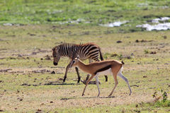 Thompson`s gazelle on a watering place against the background of a zebra Royalty Free Stock Images