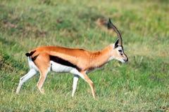 Thompson's gazelle Royalty Free Stock Image