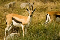 Thompson's gazelles Royalty Free Stock Photo