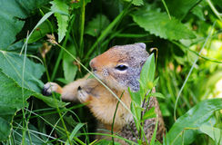 Thompson's Ground Squirrel eating plants. Stock Images