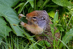Thompson's Ground Squirrel eating plants. Royalty Free Stock Image