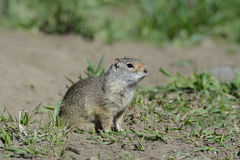 Thompson's Ground Squirrel sits near his den. Stock Image