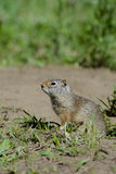 Thompson's Ground Squirrel stands near his den. Royalty Free Stock Images